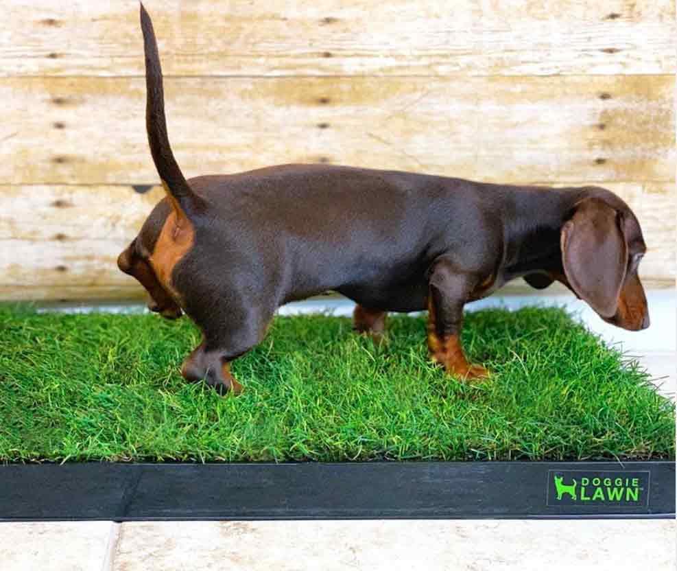 DoggieLawn Grass